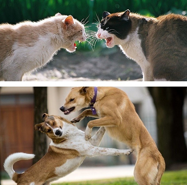 Pets Fighting